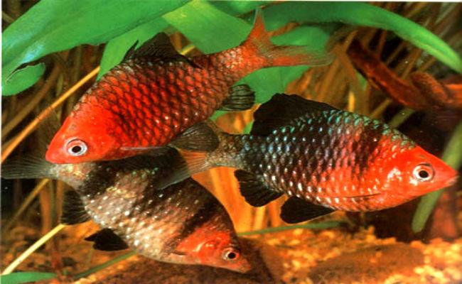 Mejores peces para tener en un acuario de agua fria, el Barbo Rosado es uno de ellos