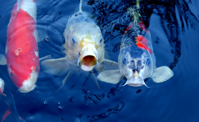 Caracteristicas de los peces de acuarios de agua dulce, la carpa Koi