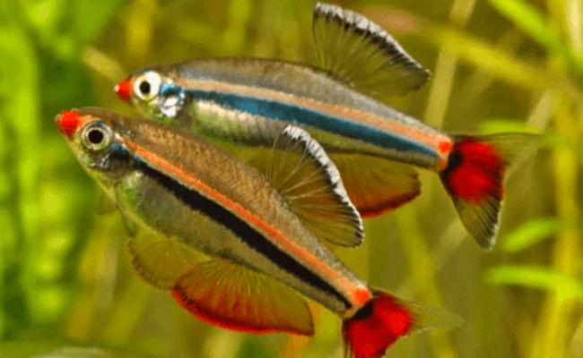 Neon chino en su acuario. Buenos peces para principiantes en los acuarios.