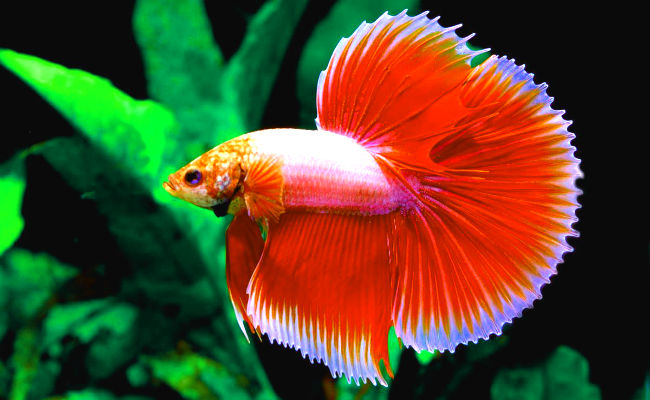 Pez betta acuario especial para peces betta
