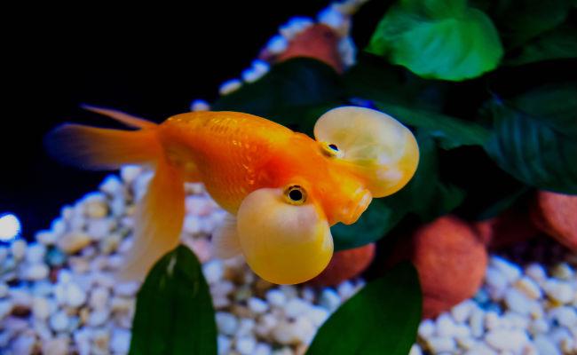 pez de acuario pez de ojos de burbuja
