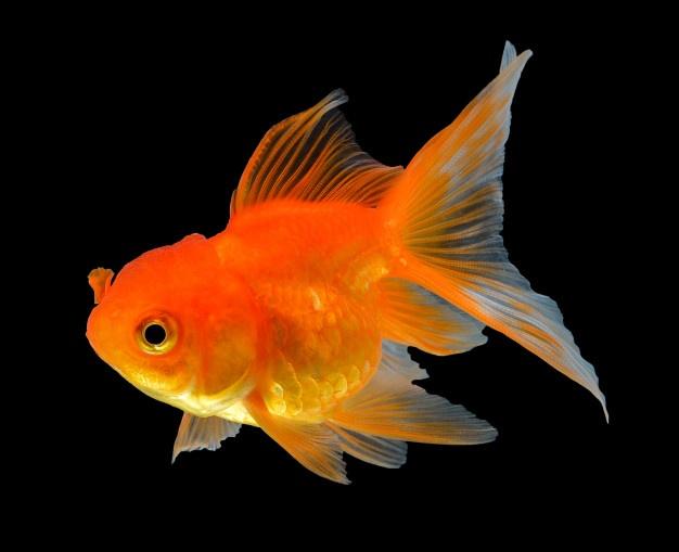 Goldfish🐠 – Tutorial para ofrecer cuidados básicos del pez dorado