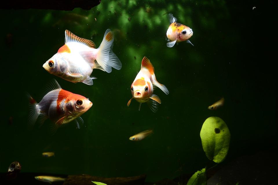 goldfish 0