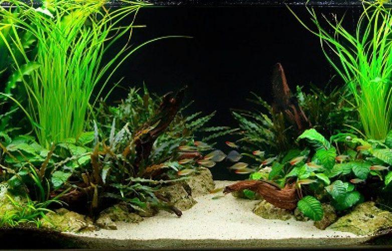 acuarios plantados en V