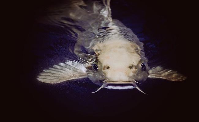 Cory Catfish. 1