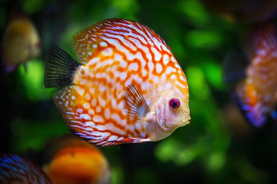 Tipos de peces dorados