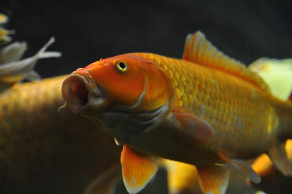 Seleccionar un pez dorado