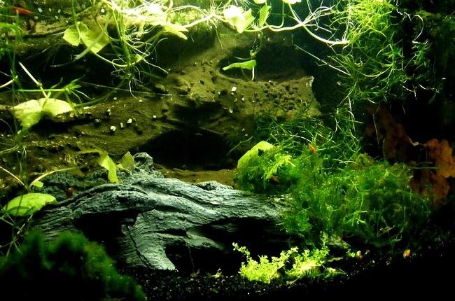 Plantas del acuario