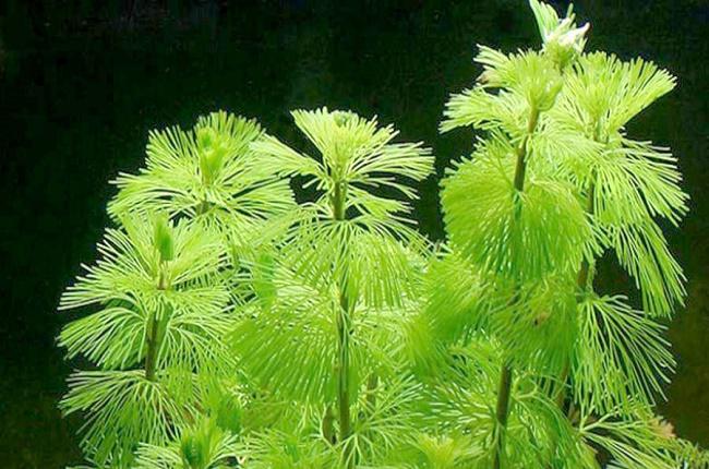 Planta de Cabomba