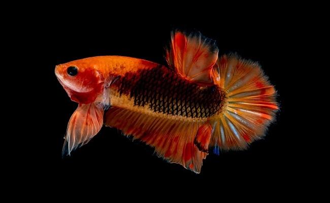Cuidado y atención de la pez Betta