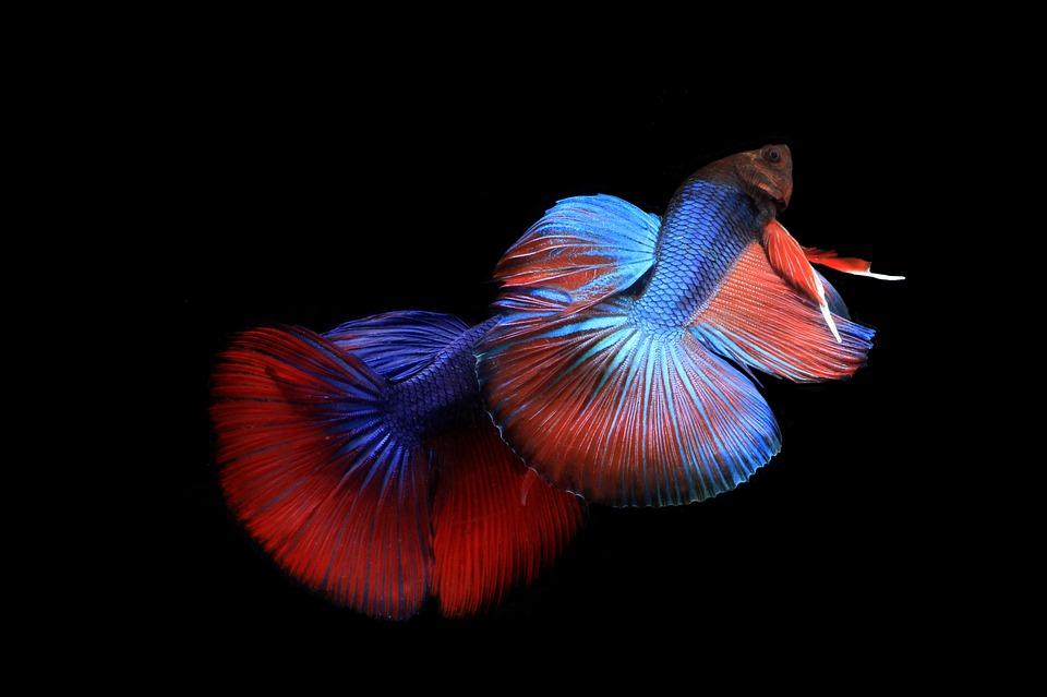 Crianza y reproducción de la pez Betta