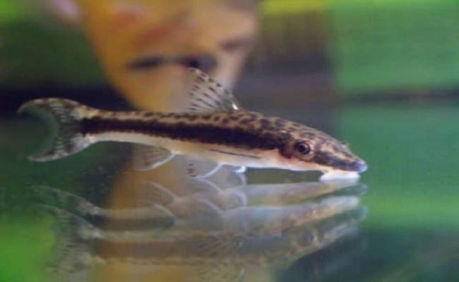 pez gato Otocinclus