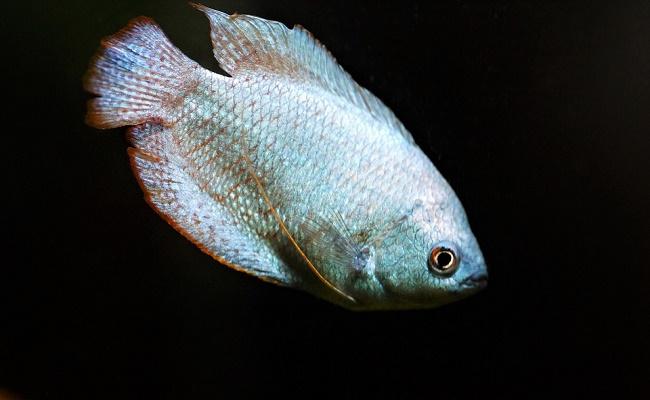 Apariencia del pez gourami
