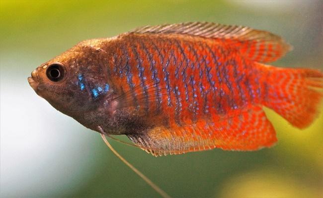 Besar un pez Gourami