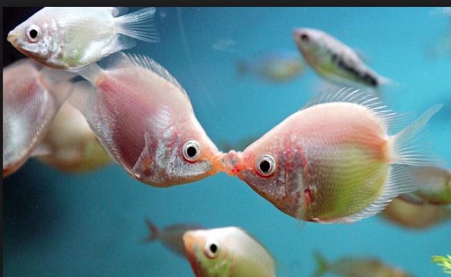 Pez gourami besador