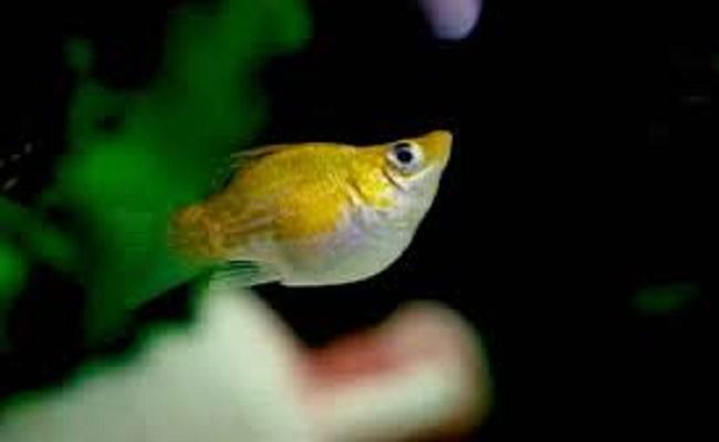 Reproducción del pez Molly
