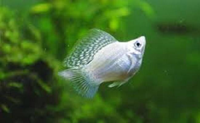 Criar pez Molly