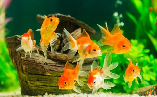 Cuidar un pez molly