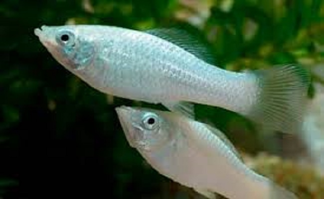 Hábitat del pez molly