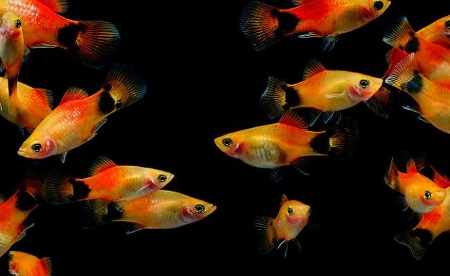 Compañeros del pez molly