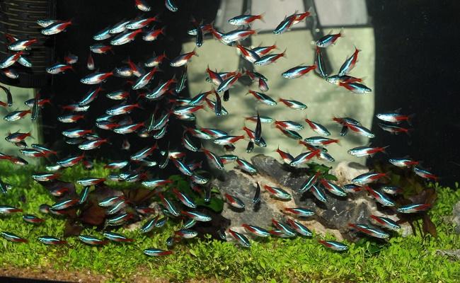 Comportamiento del pez tetra