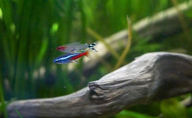 El pez tetra