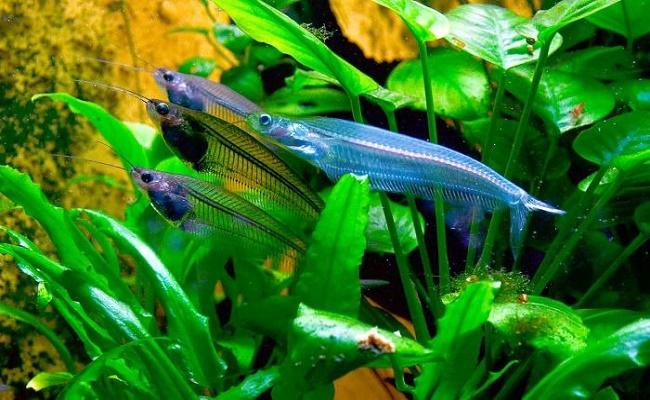 El pez gato de vidrio