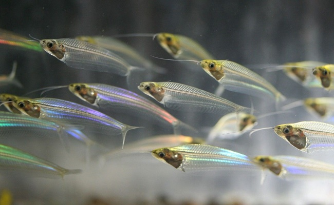 Alimentar el pez gato de vidrio