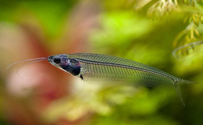 Enfermedades del pez gato de vidrio