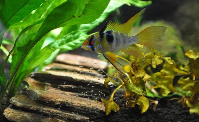 Ramirezi, Carnero Azul Alemán, Eléctrico o Cichlids Mariposa
