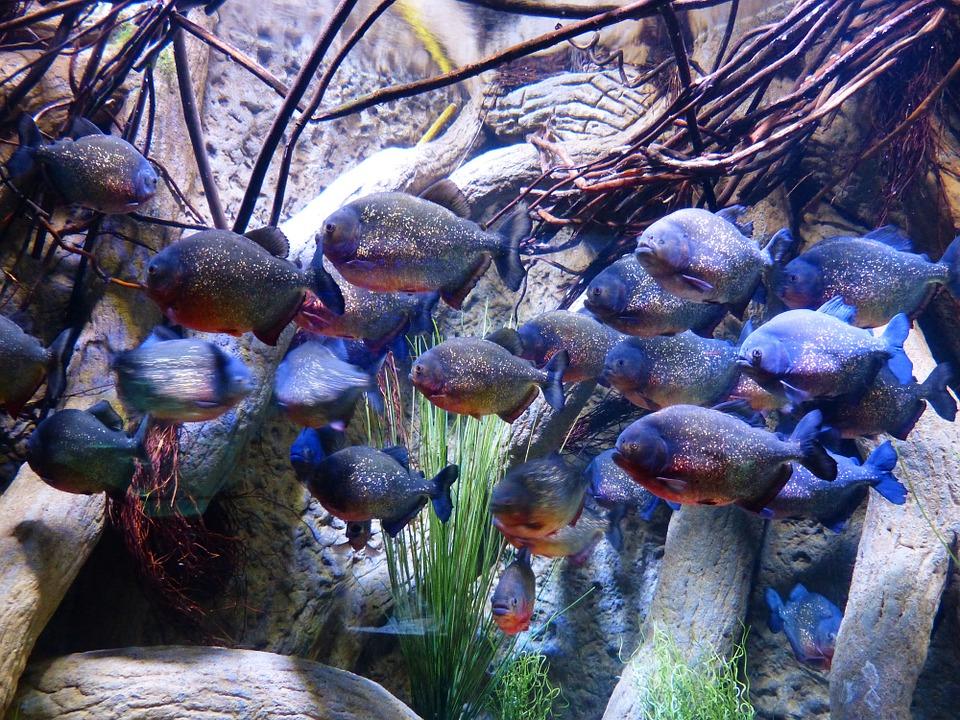 peces Tetras