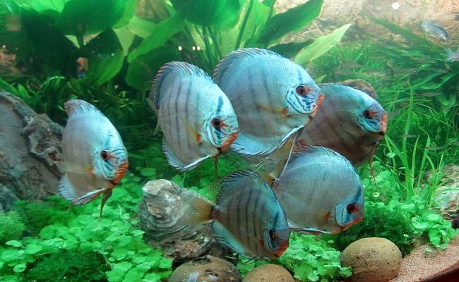 Hábitat del pez disco