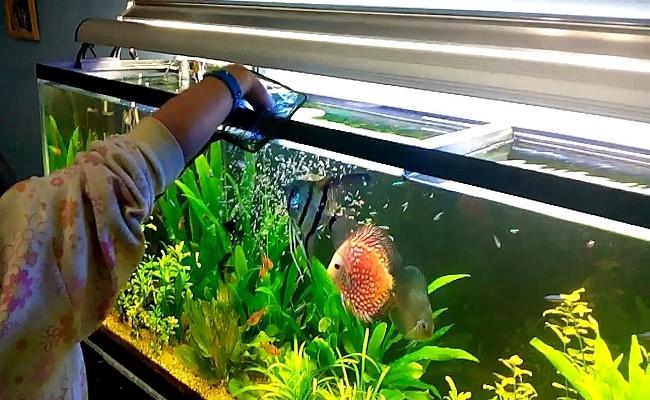 Alimentar a un pez disco