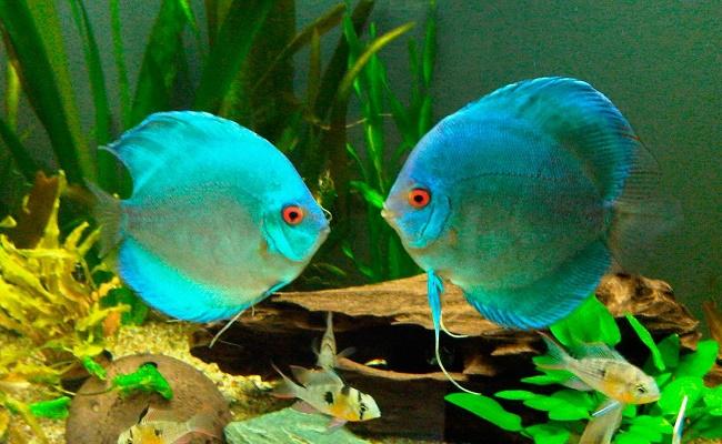 Apariencia de los peces disco
