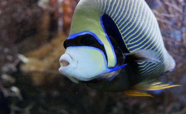Cuidados del pez ángel