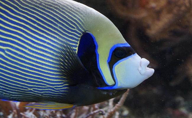 El pez ángel crece hasta 15 centímetros