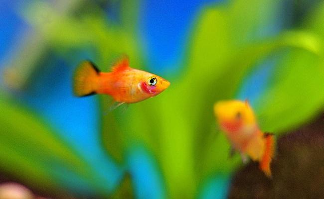 pez platy 0