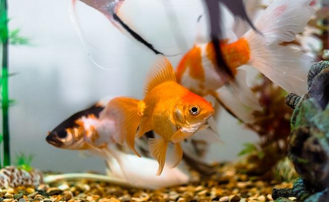 Alimentar a los peces Platys