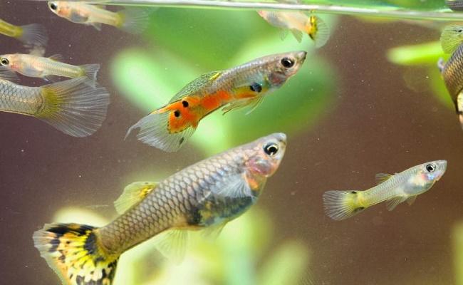 Reproducción y crianza de los peces Platys