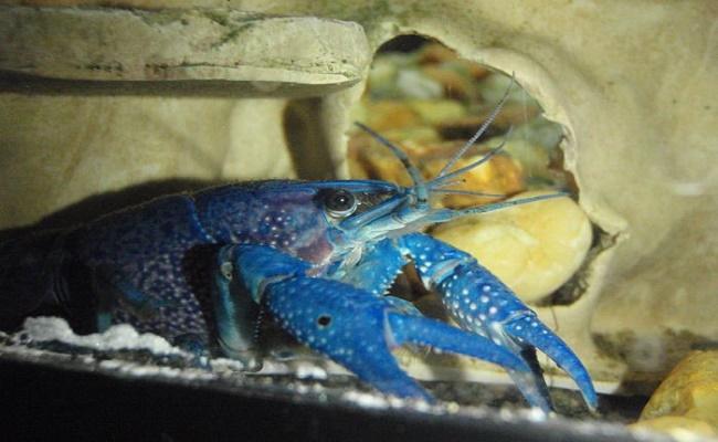LAngosta-azul-Foto-Peces-Exóticos