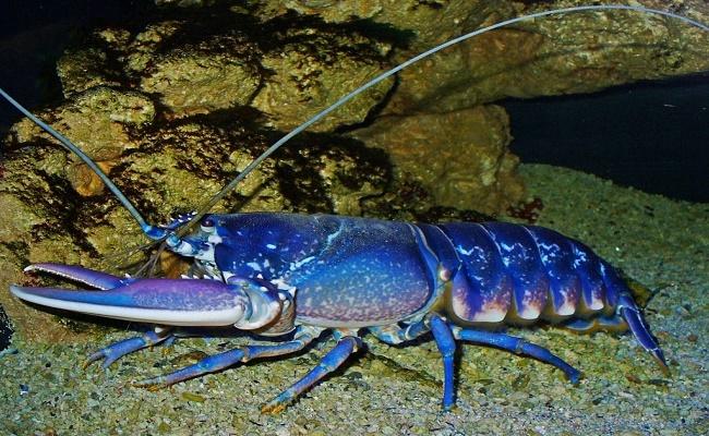 langosta azul