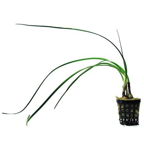 planta de enano cebolla