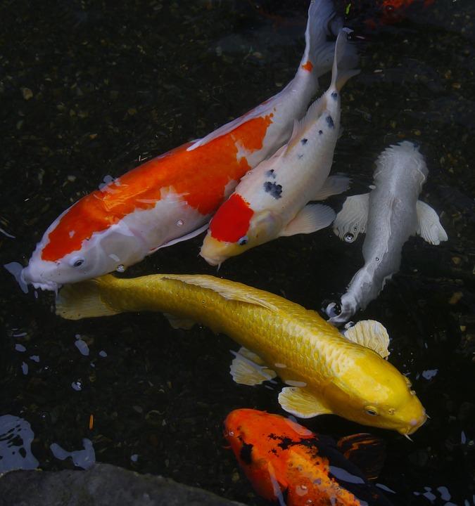 medicar a sus peces