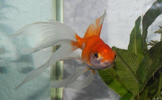 peces enfermos/ aletas