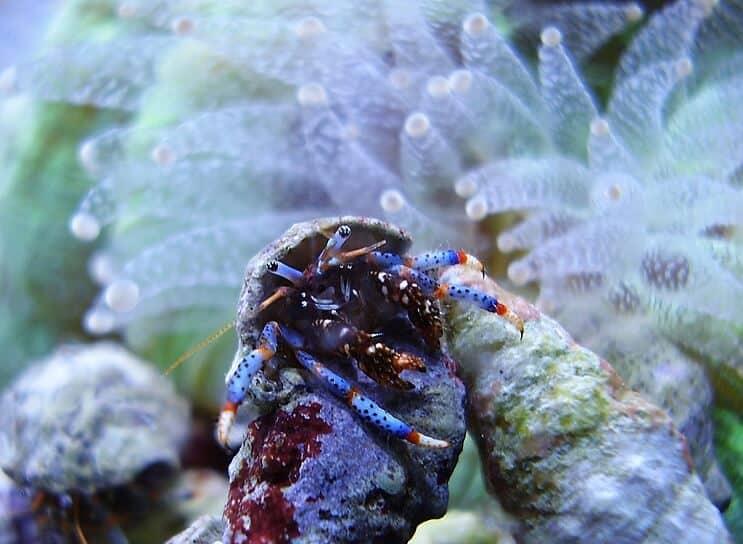 cangrejos ermitaños