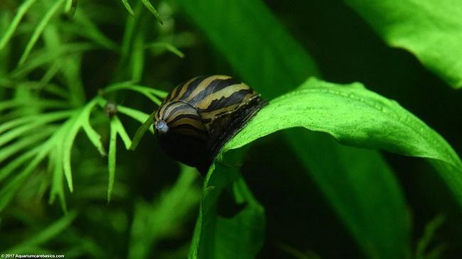Caracoles Nerita