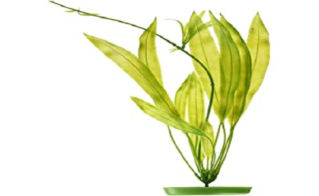 planta espada amazonica