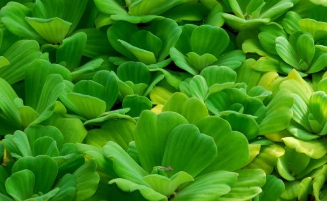 planta lechuga de agua enana