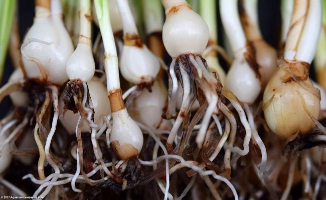Planta acuática cebolla enana