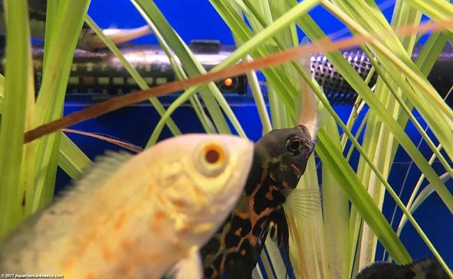 peces de acuario de agua dulces